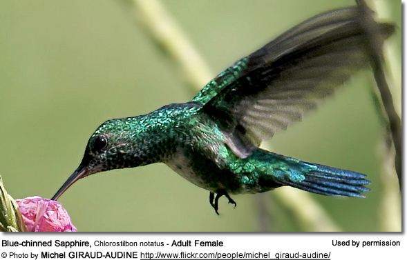 Blue-chinned Sapphire, Chlorostilbon notatus - Adult Female