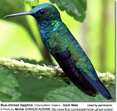 Blue-chinned Sapphire, Chlorostilbon notatus - Adult Male