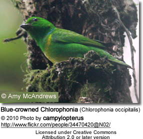 Blue-crowned Chlorophonia (Chlorophonia occipitalis)