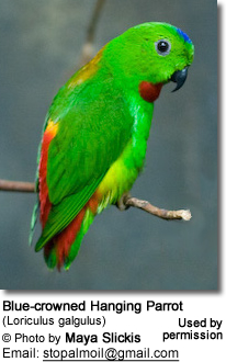 Blue-crowned Hanging Parrot (Loriculus galgulus)