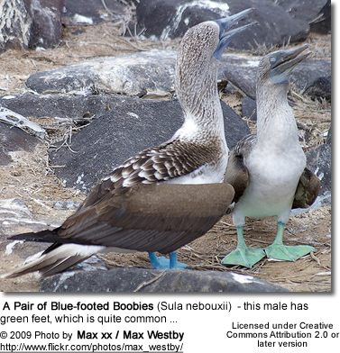 Blue-footed Boobies - the male with green feet, which is common
