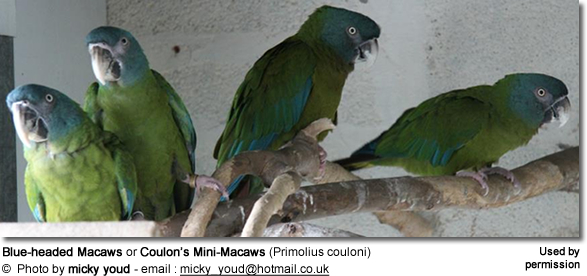 Blue-headed Macaws or Coulon's Mini-Macaws (Primolius couloni)