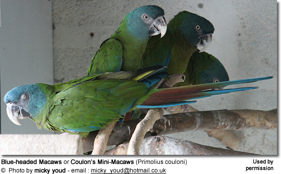 Blue-headed Macaws