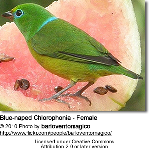 Blue-naped Chlorophonia - Female
