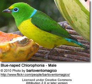 Blue-naped Chlorophonia - Male