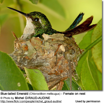 Blue-tailed Emerald (Chlorostilbon mellisugus) - Female on nest