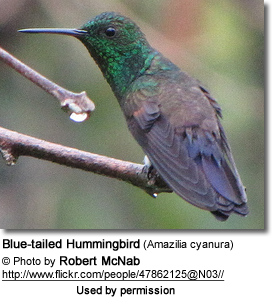 Blue-tailed Hummingbird (Amazilia cyanura)