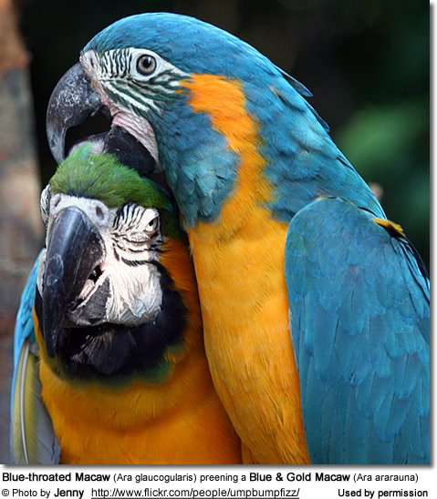 Blue-throated Macaw (Ara glaucogularis) preening a Blue and  Gold Macaw (Ara ararauna)