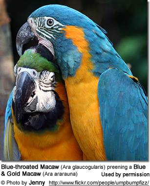 Blue-throated Macaw (Ara glaucogularis) preening a Blue & Gold Macaw (Ara ararauna)