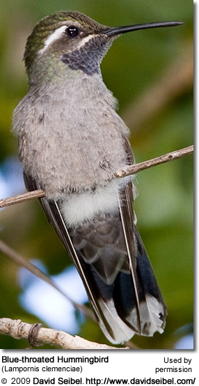 Blue-throated Hummingbird (Lampornis clemenciae)