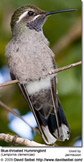Female Blue-throated Hummingbird