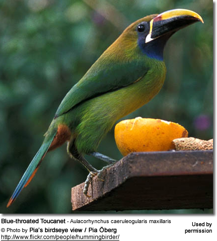 Blue-throated Toucanet - Aulacorhynchus caeruleogularis maxillaris