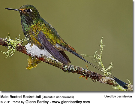 Booted Rackettailed Hummingbird