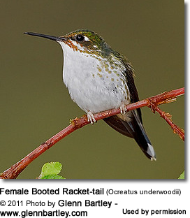 Female Booted Racket-tail (Ocreatus underwoodii)