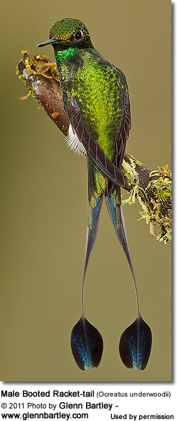 Male Booted Racket-tail (Ocreatus underwoodii)