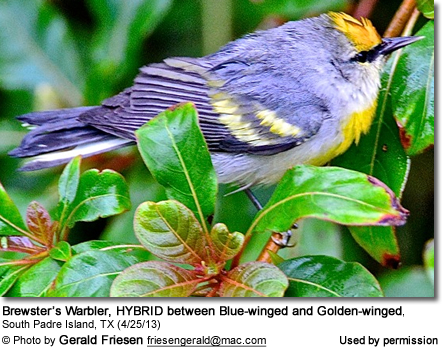 Brewster's Warbler, HYBRID between Blue-winged and Golden-winged, South Padre Island, TX (4/25/13)