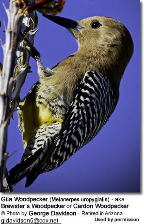 Gila Woodpeckers (Melanerpesuropygialis) - also known as Brewster's Woodpeckers or Cardon Woodpeckers