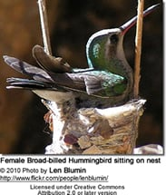 Broad-billed Hummingbird, Cynanthus latirostris,
