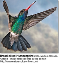 Broad-billed Hummingbird male