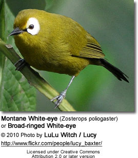 Montane White-eye (Zosterops poliogaster) or Broad-ringed White-eye