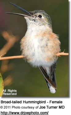 Broad-tailed Hummingbird - Female