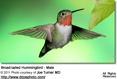 Male Broad-tailed Hummingbird (Selasphorus platycercus)