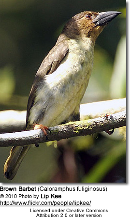 Brown Barbet (Caloramphus fuliginosus)
