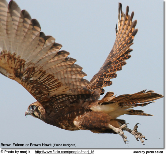 Brown Falcon or Brown Hawk (Falco berigora)