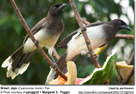 Brown Jay (Cyanocorax morio)