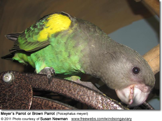 Meyer's Parrot or Brown Parrot (Poicephalus meyeri)