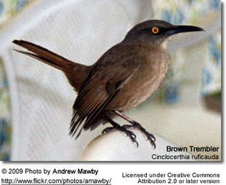 Brown Trembler (Cinclocerthia ruficauda)