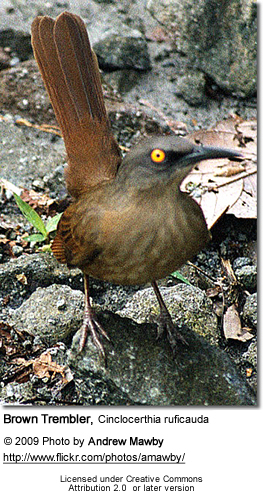 Brown Trembler