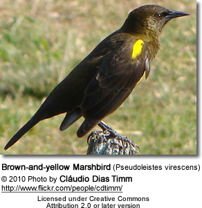 Brown-and-yellow Marshbird (Pseudoleistes virescens)