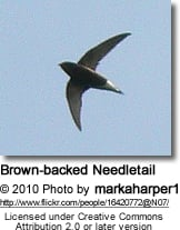 Brown-backed Needletail (Hirundapus giganteus), or Brown Needletail
