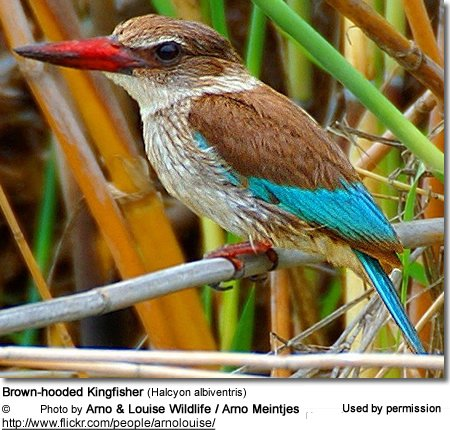 Brown-hooded Kingfisher (Halcyon albiventris)