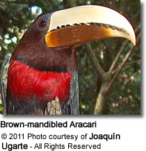 Brown-mandibled Aracari