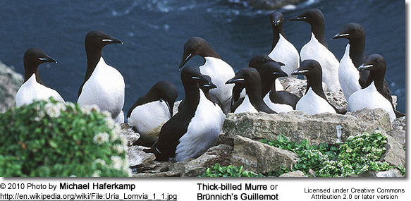 Thick-billed Murre or Brünnich's Guillemot (Uria lomvia)