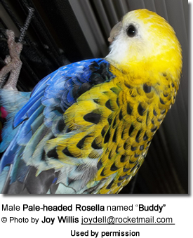 "Male Pale-headed Rosella named ""Buddy"""