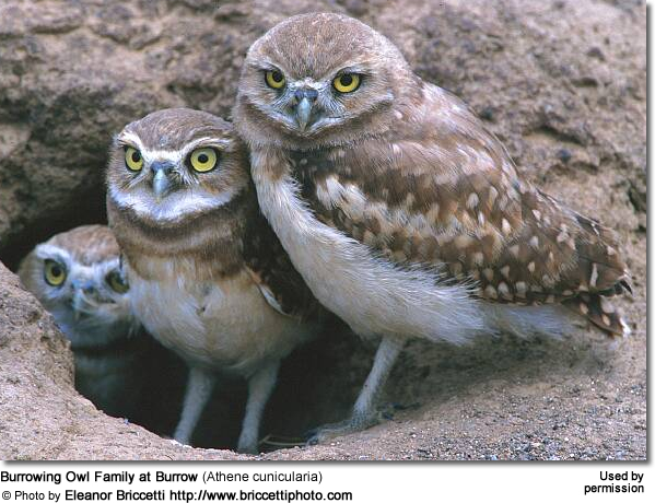 Burrowing Owl Family at Burrow (Athene cunicularia)