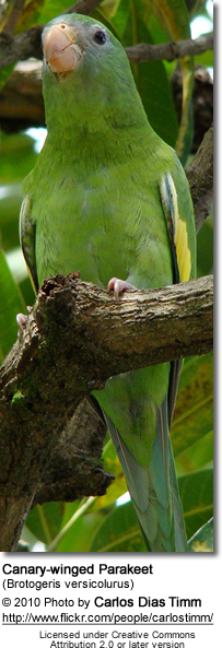 Canary-winged Parakeets (Brotogeris versicolurus)