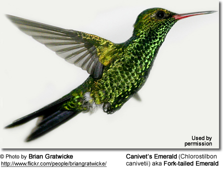 Canivet's Emerald Male