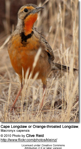 Cape Longclaw or Orange-throated Longclaw, Macronyx capensis