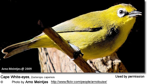 Cape White-eyes, Zosterops capensis