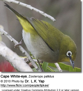 Cape White-eye, Zosterops pallidus