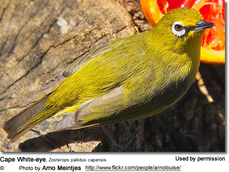 Cape White-eye, Zosterops pallidus capensis