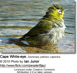 Bathing Cape Whiteeye