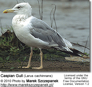 Caspian Gull (Larus cachinnans) - Adult