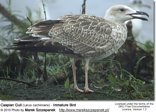 Caspian Gull (Larus cachinnans) - Immature Bird