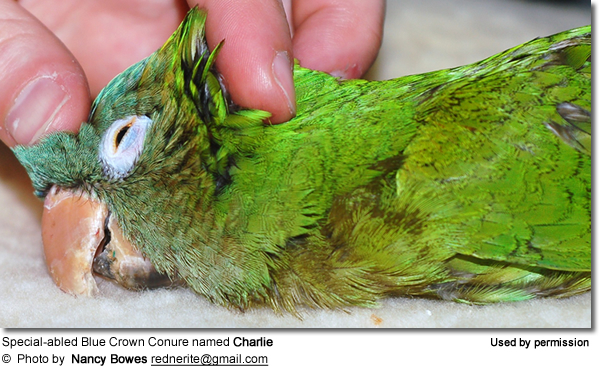 Special-abled Blue Crown Conure named Charlie