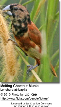 Molting Chestnut Munia - molting
